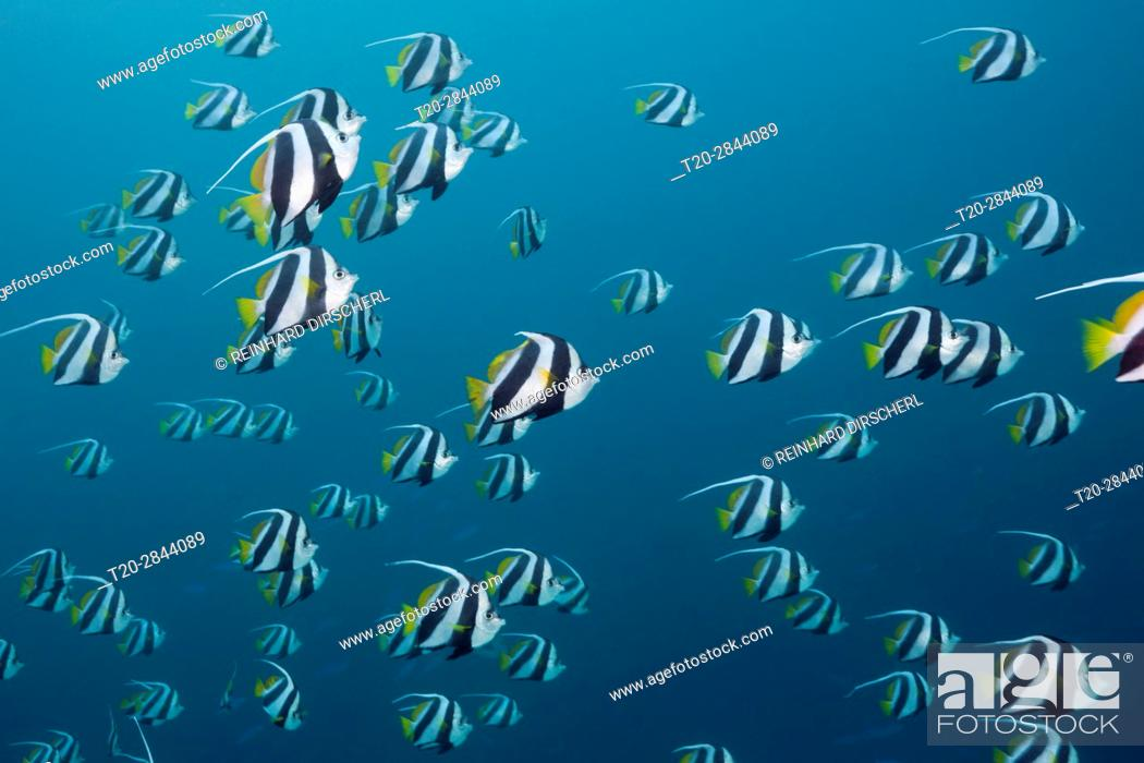 Stock Photo: Shoal of Pennant Bannerfish, Heniochus diphreutes, North Male Atoll, Maldives.