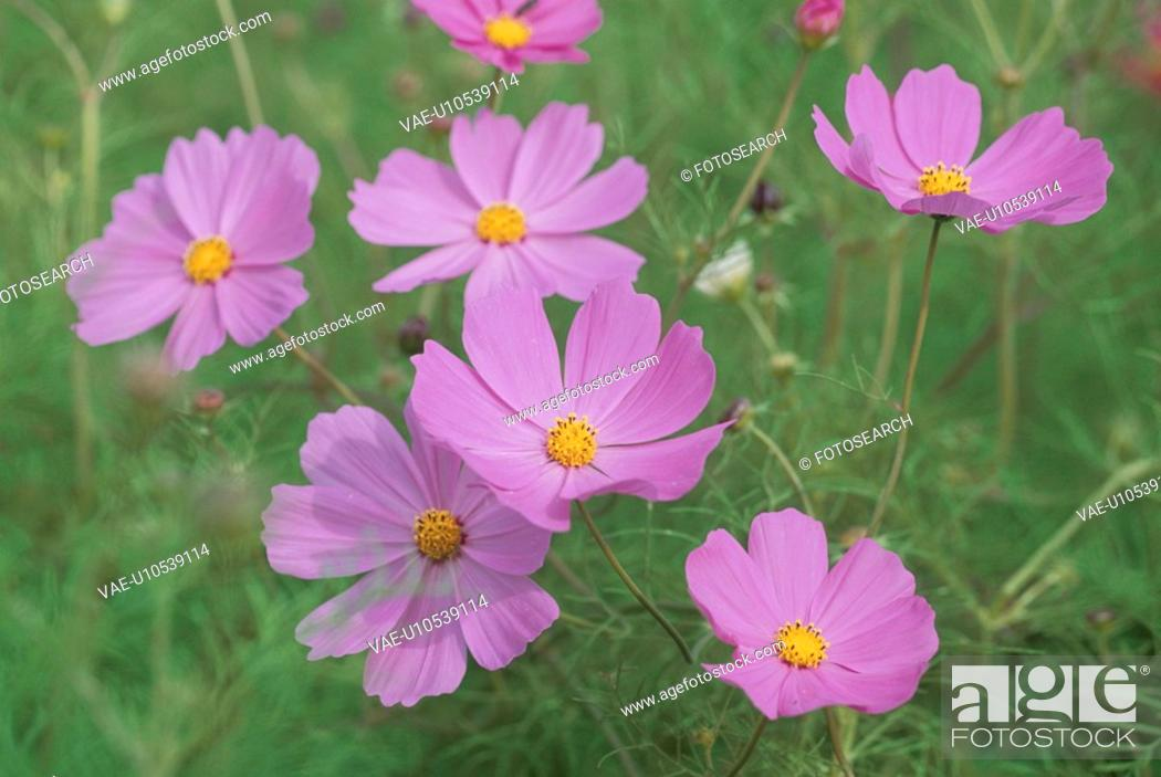 Stock Photo: Cosmos.