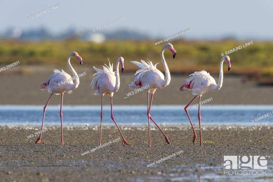 Stock Photo: European Flamingo, Great Flamingo, Phoenicopterus roseus, Saintes-Maries-de-la-Mer, Parc naturel régional de Camargue, Languedoc Roussillon, France.
