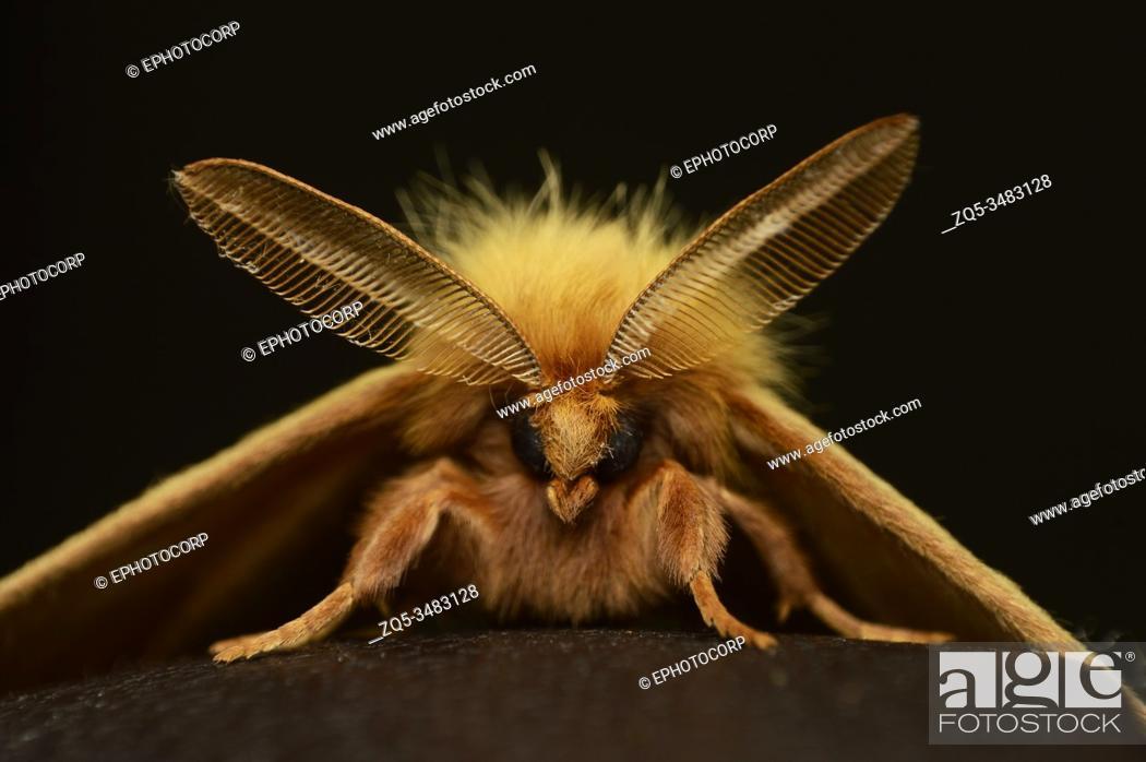 Stock Photo: Straight face of Eupterote lineosa, Distribution - Nepal , India , Sri Lanka , burma.