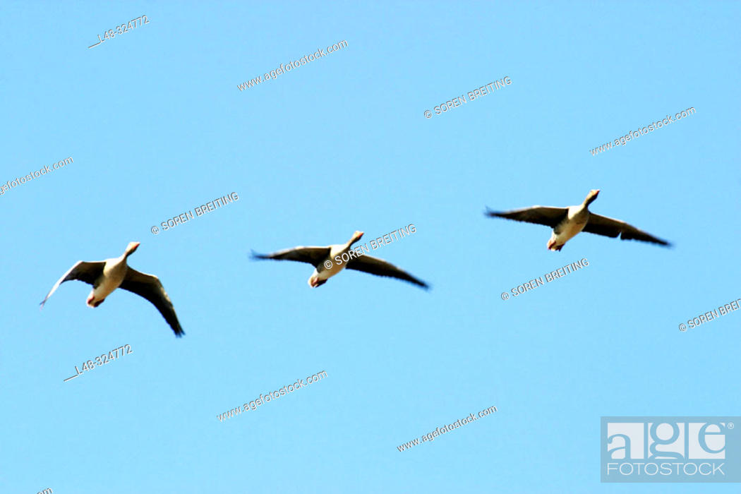 Stock Photo: Three greylag goose (Anser anser) flying against the blue sky in formation.