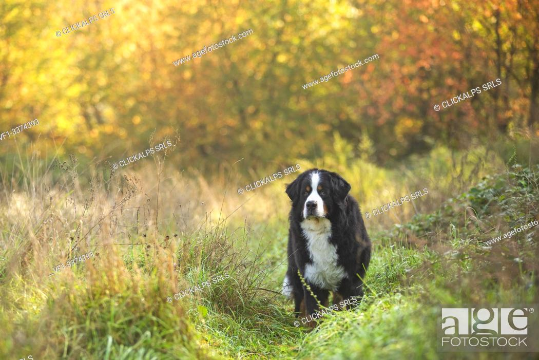 Stock Photo: Milano province, Lombardy, Italy, Europe. A Bernese mountain dog standing in the tall grass.