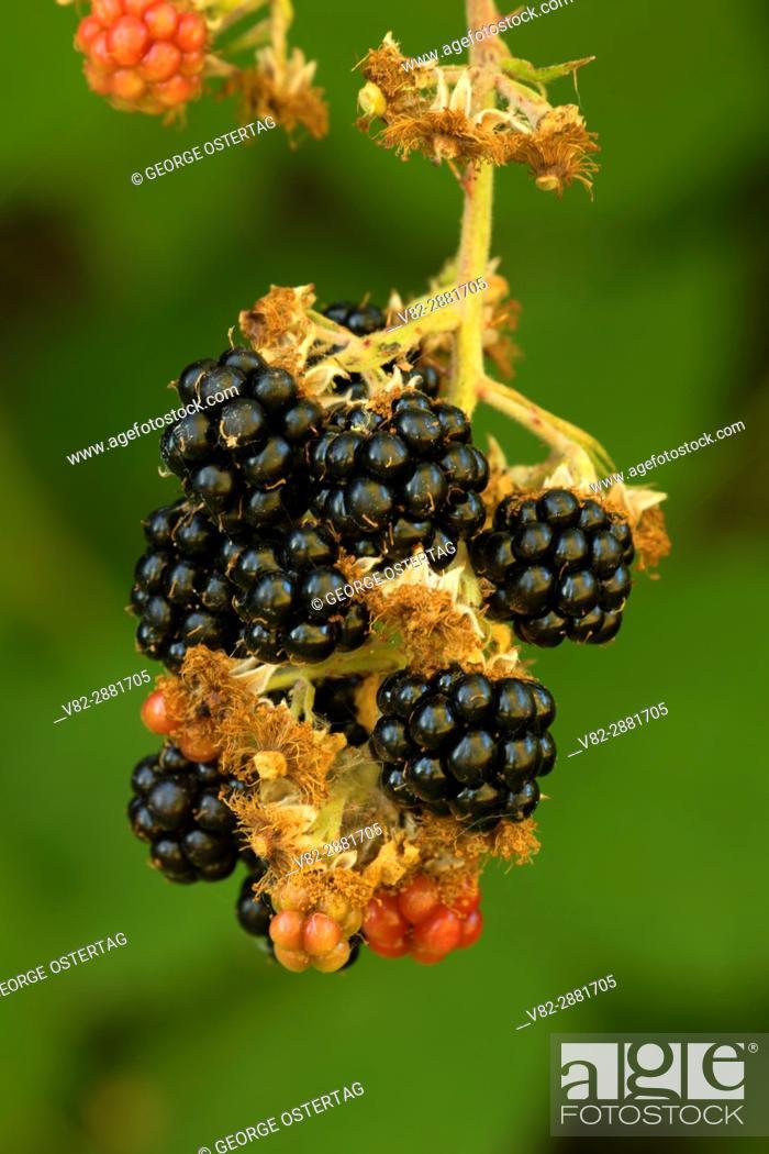 Stock Photo: Blackberries, Willamette Mission State Park, Oregon.