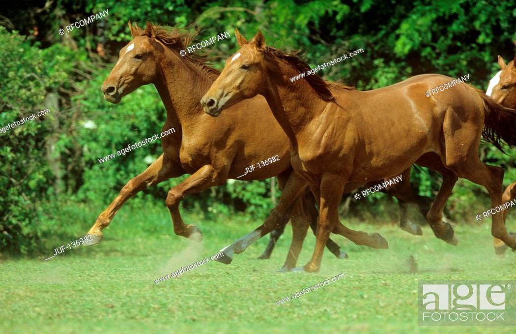 Stock Photo: Holstein horses - running on meadow.