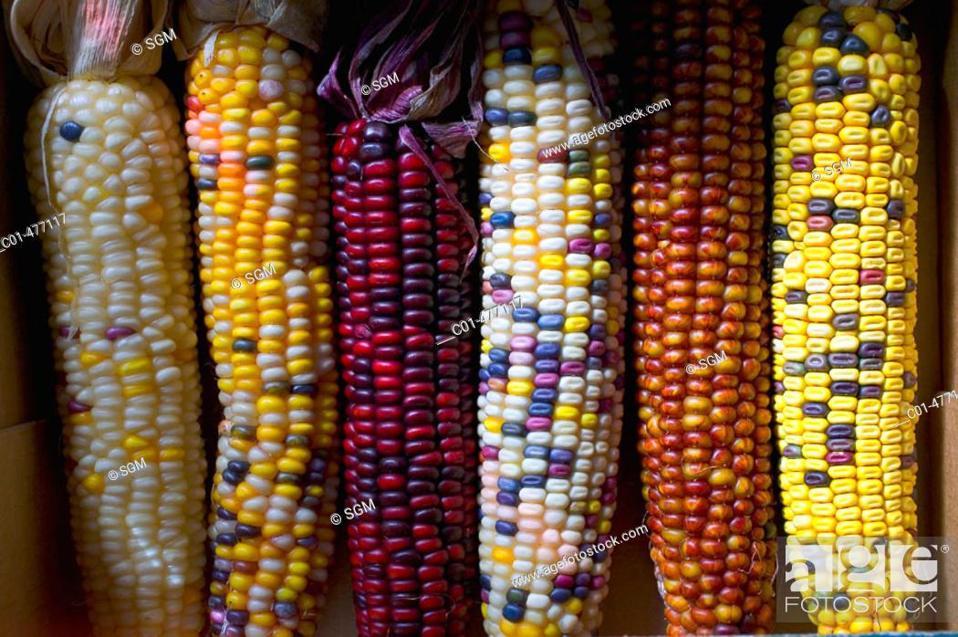 Stock Photo: Assortment of sweet corn ears.