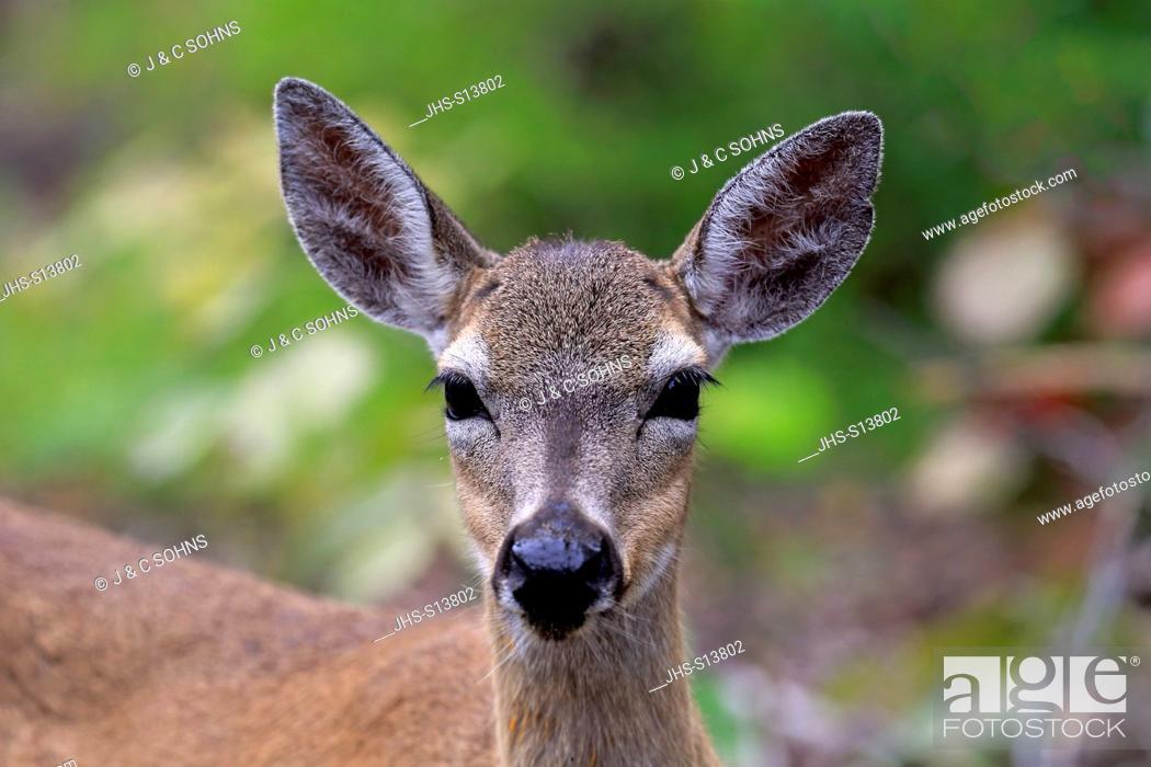 Stock Photo: Key Deer, (Odocoileus virginianus clavium), National Key Deer Refuge, Florida, North America, USA, adult female portrait.