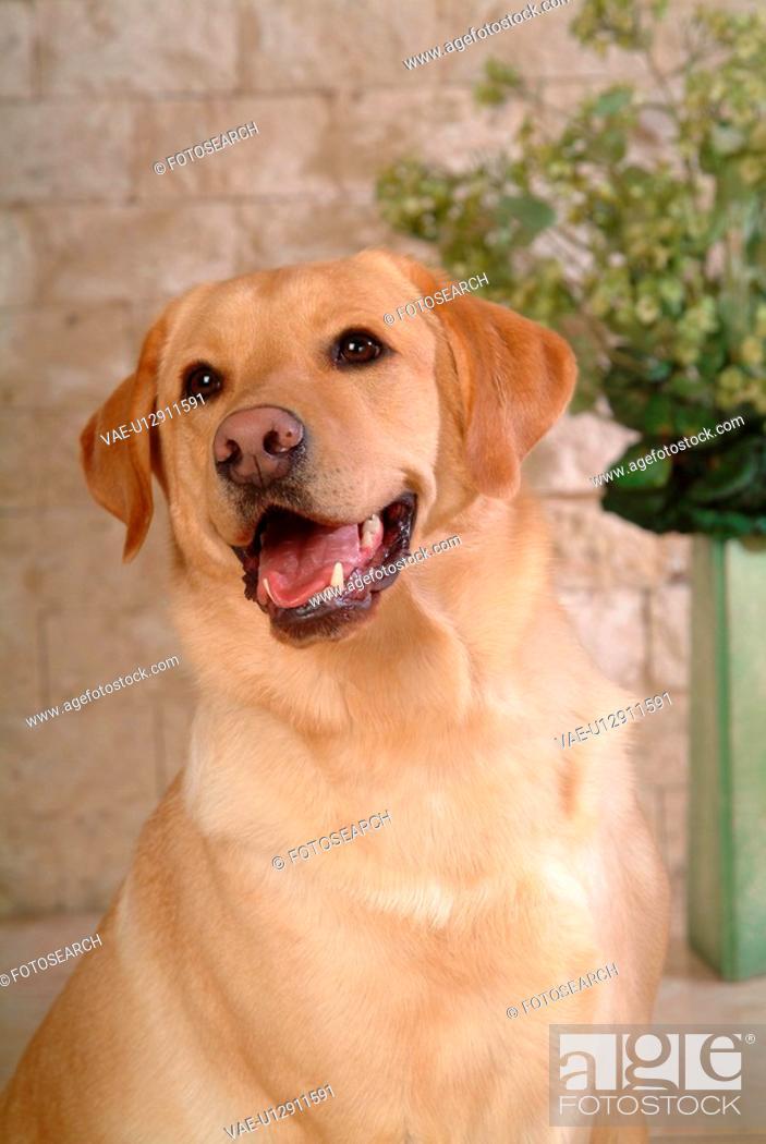 Stock Photo: house pet, labrador, canines, domestic, retriever, labrador retriever.