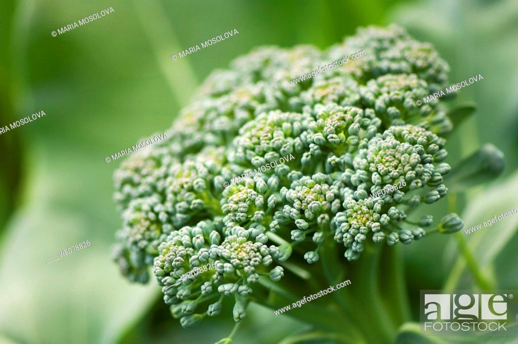 Stock Photo: Broccoli head. Brassica oleracea. May 2007, Maryland, USA.