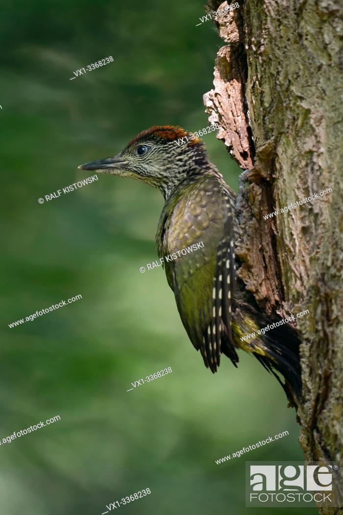 Stock Photo: Green Woodpecker / Grünspecht ( Picus viridis ), just fledged young, chick just after leaving its nest hole, perched on nesting tree, Europe.