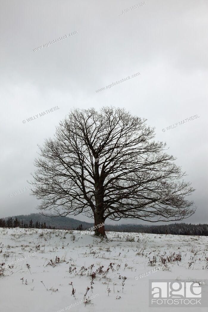 Stock Photo: Single Sycamore Maple Tree on field at winter, Sumava National Park, Bohemia, Czech Republic, Europe.