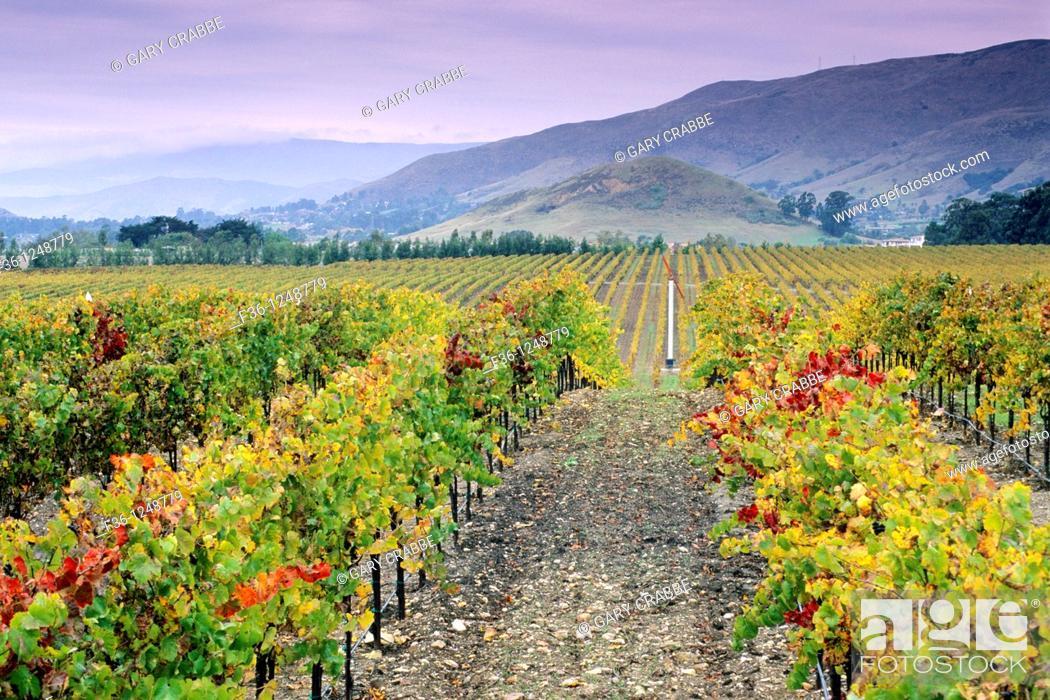 Stock Photo: Vineyards in the Edna Valley in fall, near San Luis Obispo, San Luis Obispo County, California.