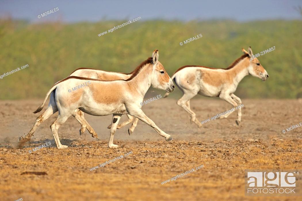 Stock Photo: India, Gujarat, Little Rann of Kutch, Wild Ass Sanctuary, Indian wild asses (Equus hemionus khur) , Khur, running.