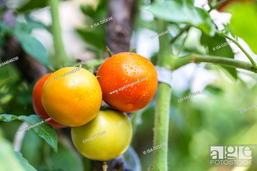 Stock Photo: Big organic ripe red, green and yellow vine tomatoes fruits hanging on branch with water droplets in garden.