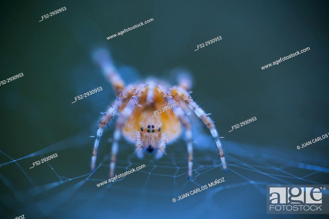 Stock Photo: Spider, Cueva Deboyu, Campo de Caso, Redes Natural Park, Caso Council, Asturias, Spain, Europe.