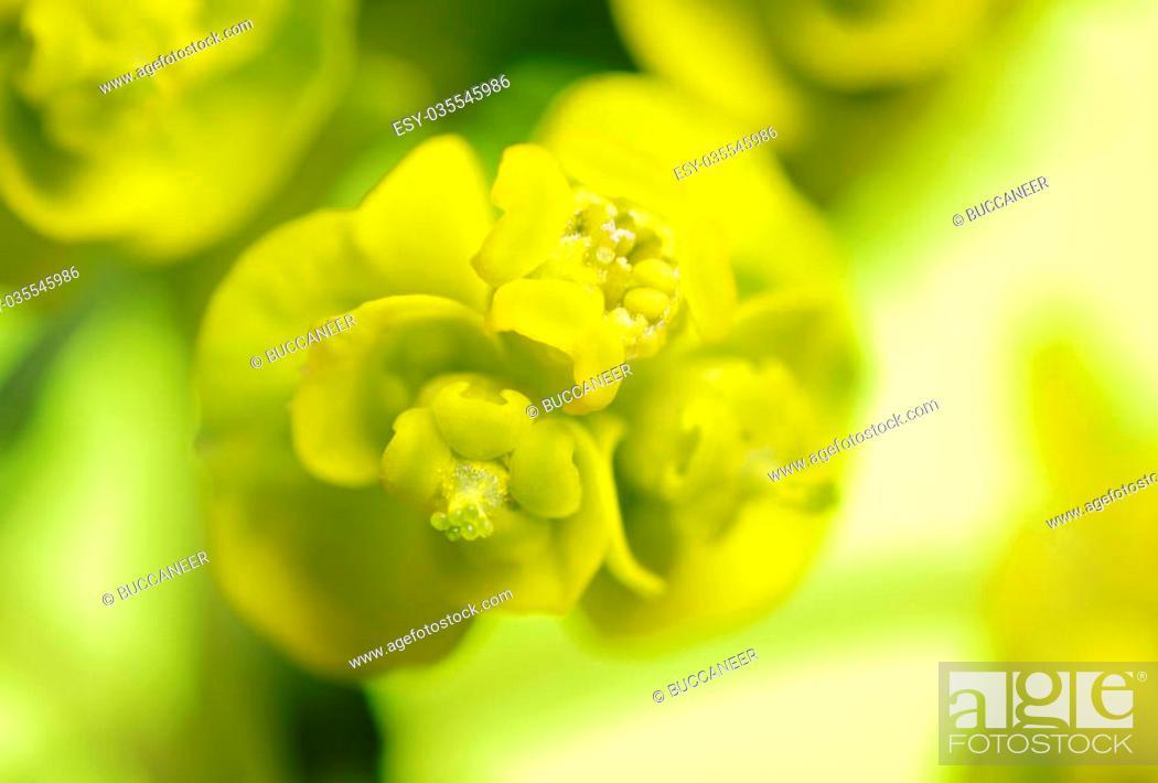 Stock Photo: Close up photograph of a Cypress spurge (Euphorbia cyparissias) inflorescence.