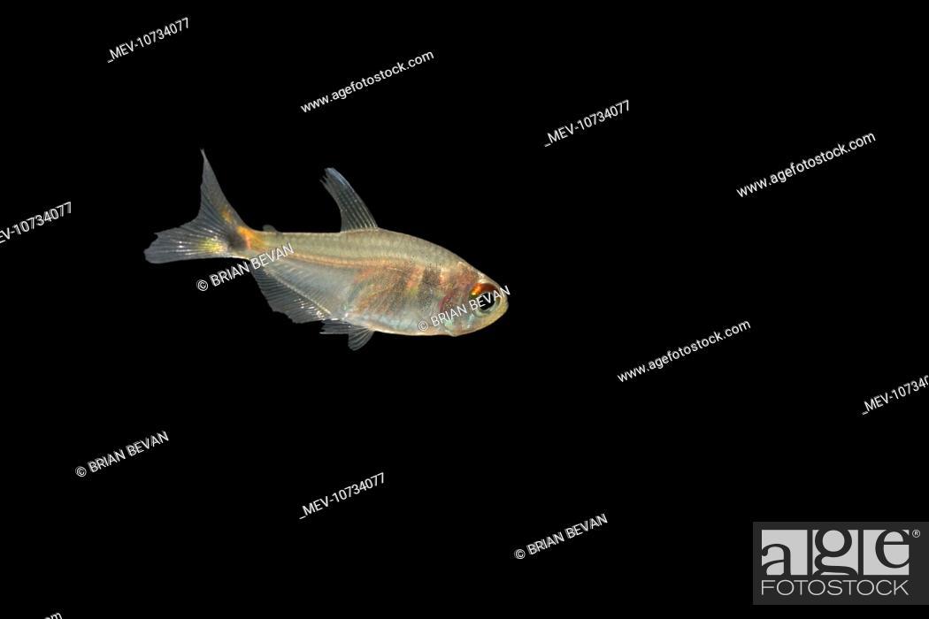 Fish Head And Tail Light Tetra Beacon Fish Hemigrammus Ocelifer