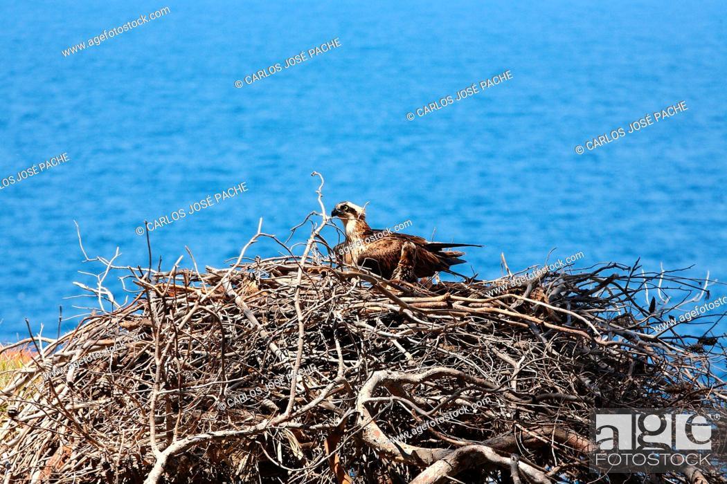 Stock Photo: Osprey (Pandion haliaetus). Serra de Tramuntana, Mallorca, Balearic Islands, Spain.