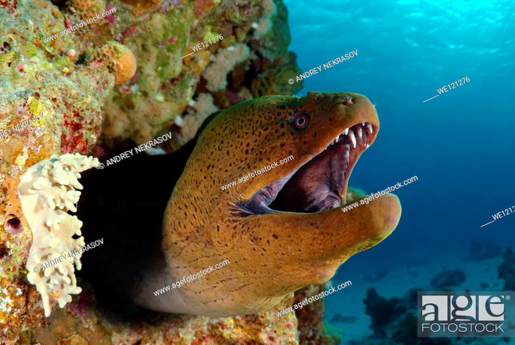 Stock Photo: Mediterranean moray Muraena helena Red sea, Egypt.