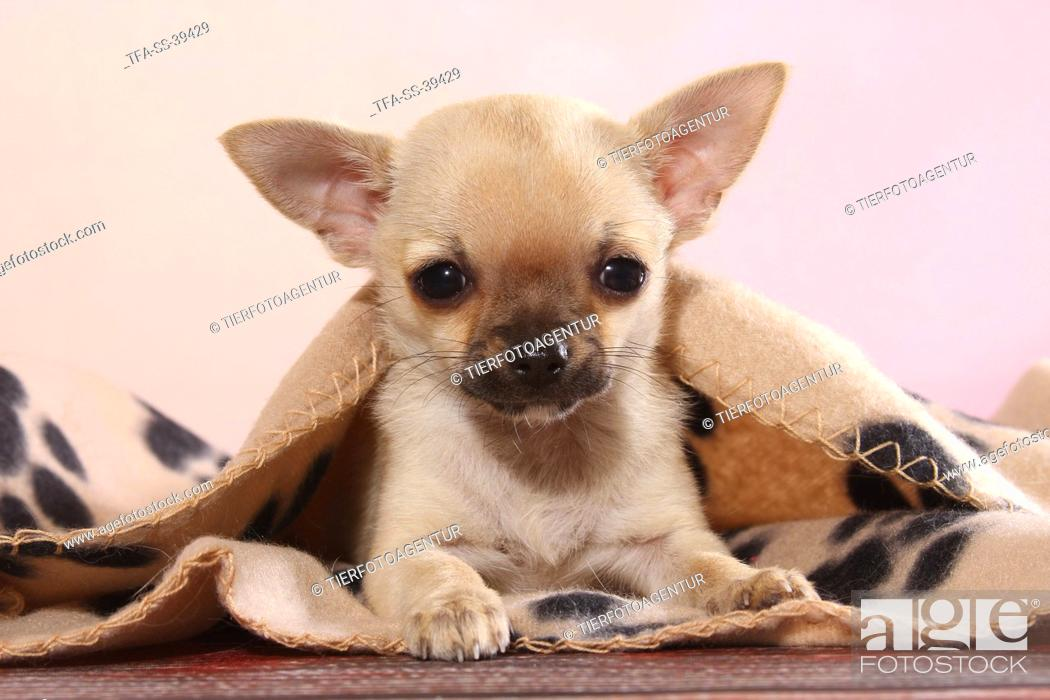 Stock Photo: lying shorthaired Chihuahua Puppy.