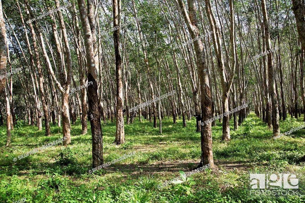 Rubber plantation, Pará Rubber Trees or Sharinga Trees