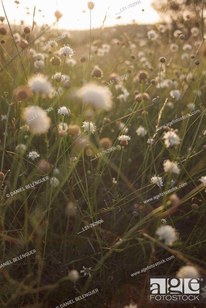 Stock Photo: Field with flowers in Puertomingalvo, Sierra de Gudar, Teruel, Aragón, Spain, Europe.