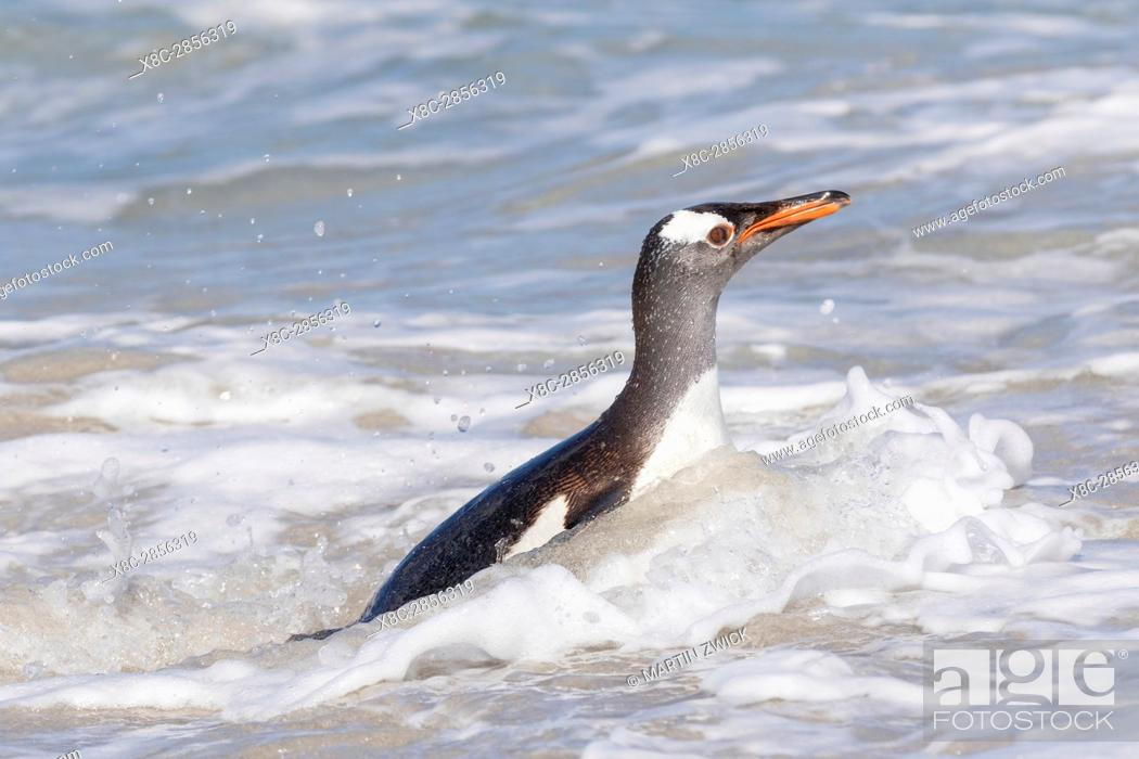 Stock Photo: Gentoo Penguin (Pygoscelis papua), Falkland Islands. South America, Falkland Islands, January.