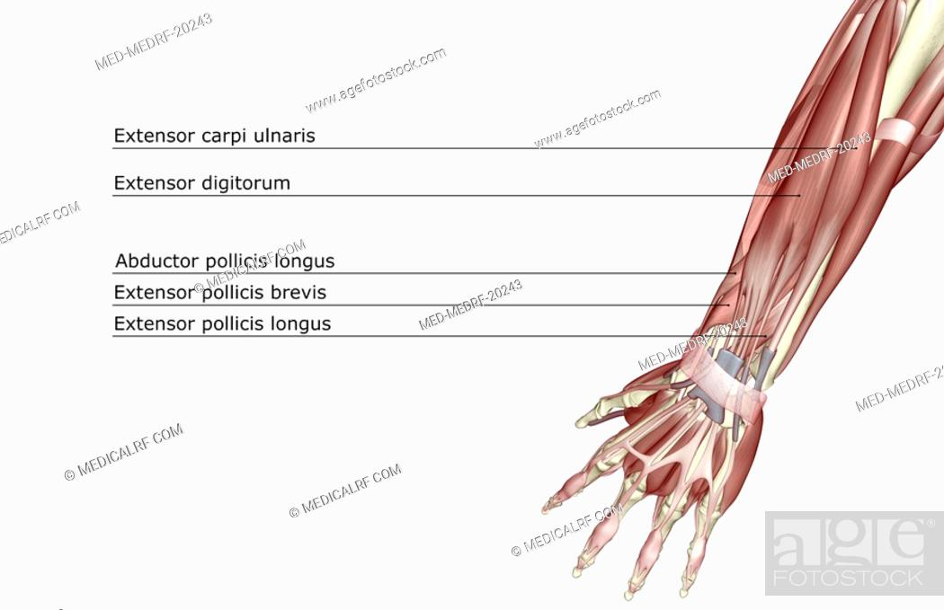 Stock Photo: The muscles of the forearm.