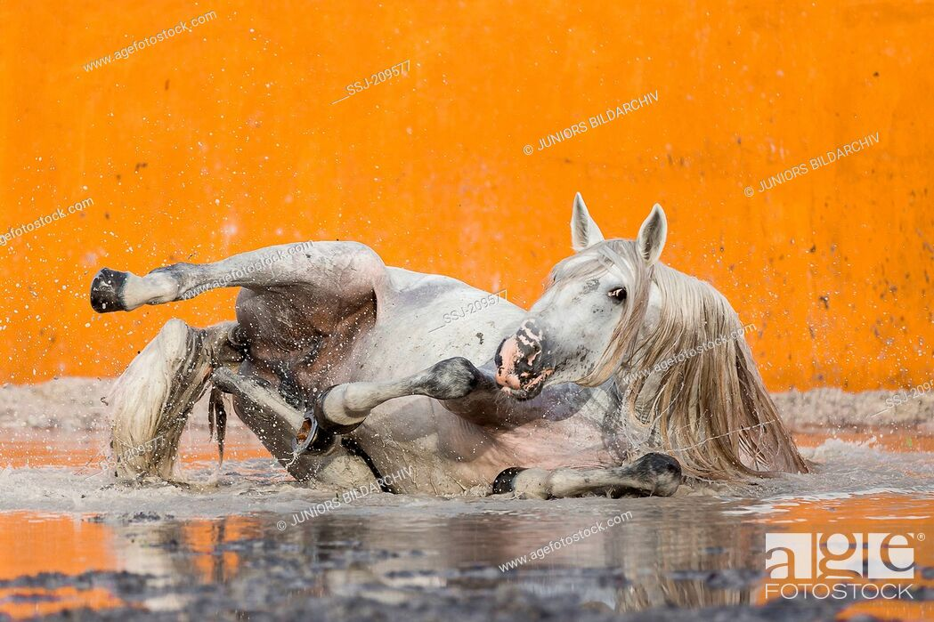 Stock Photo: Lusitano. Gray stallion wallowing in a flooded bullfighting arena. Portugal.