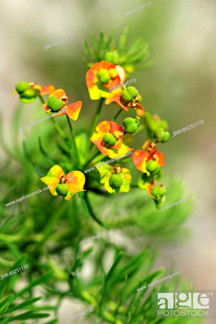 Stock Photo: cypress spurge Euphorbia cyparissias, inflorescence, Switzerland, Valais.