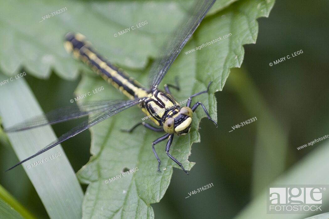Stock Photo: Female Club-tailed Dragonfly, Gomphus vulgatissimus, 6-7cm found in slow-moving rivers and streams with sandy soil. They emerge in swarms to thick overhanging.
