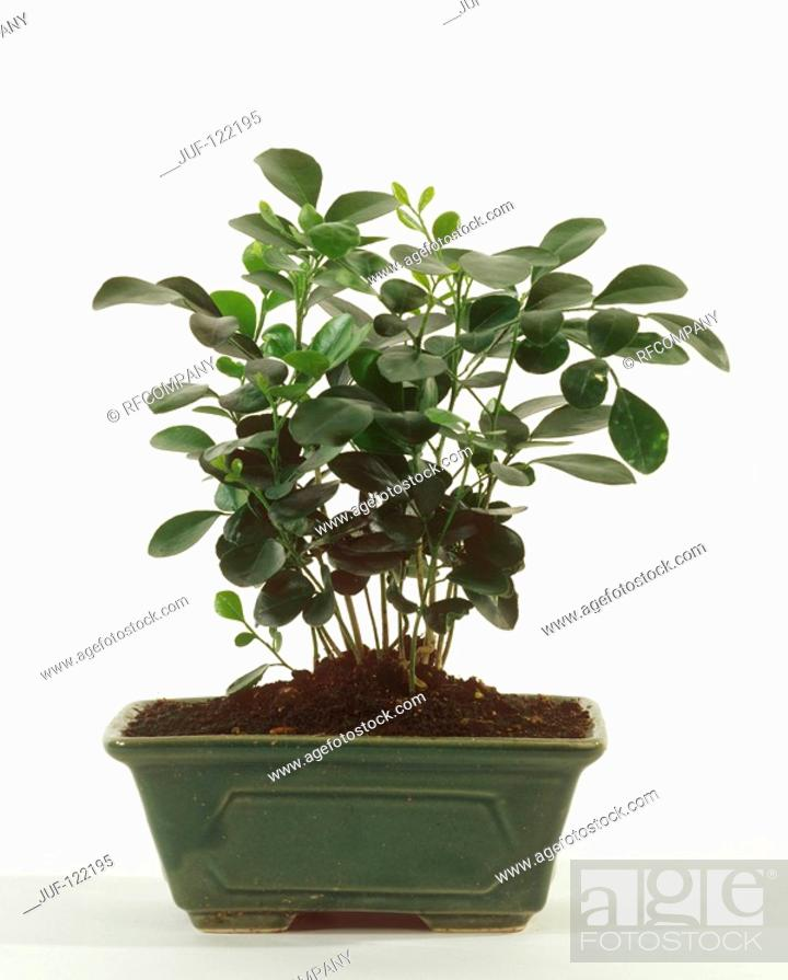 Orange Jasmine Murraya Paniculata Stock Photo Picture And Royalty Free Image Pic Juf 122195 Agefotostock