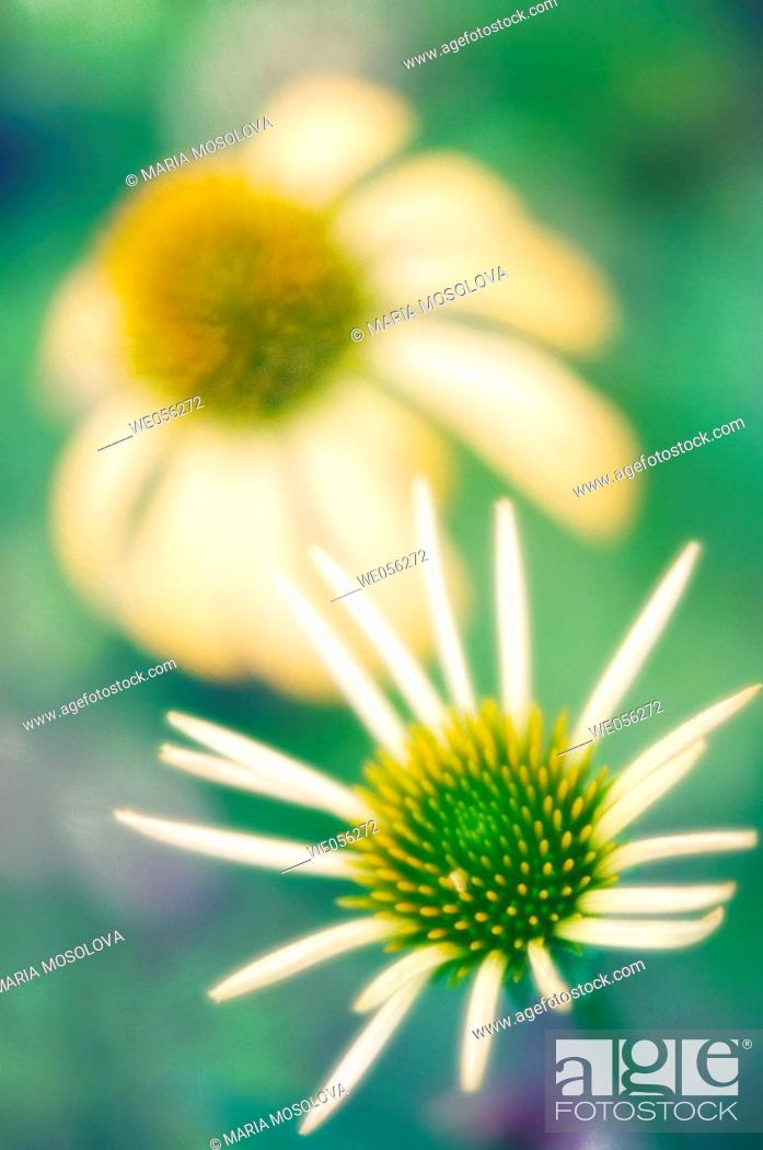 Stock Photo: Two Yellow Coneflowers (Echinacea paradoxa). June 2006. Maryland, USA.