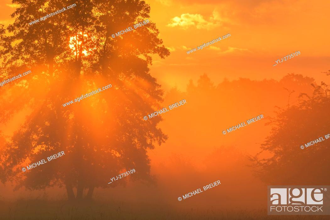 Stock Photo: Tree (Black alder) in morning mist at sunrise, Hesse, Germany, Europe.