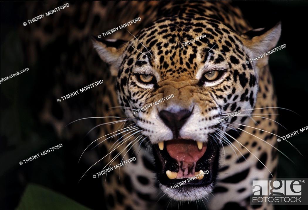 Stock Photo: Panthera onca. Attack threat of a jaguar. French Guiana.