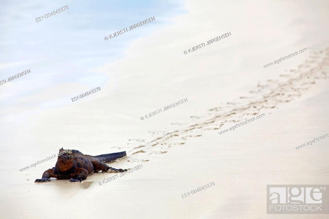 Stock Photo: Galapagos marine Iguana.