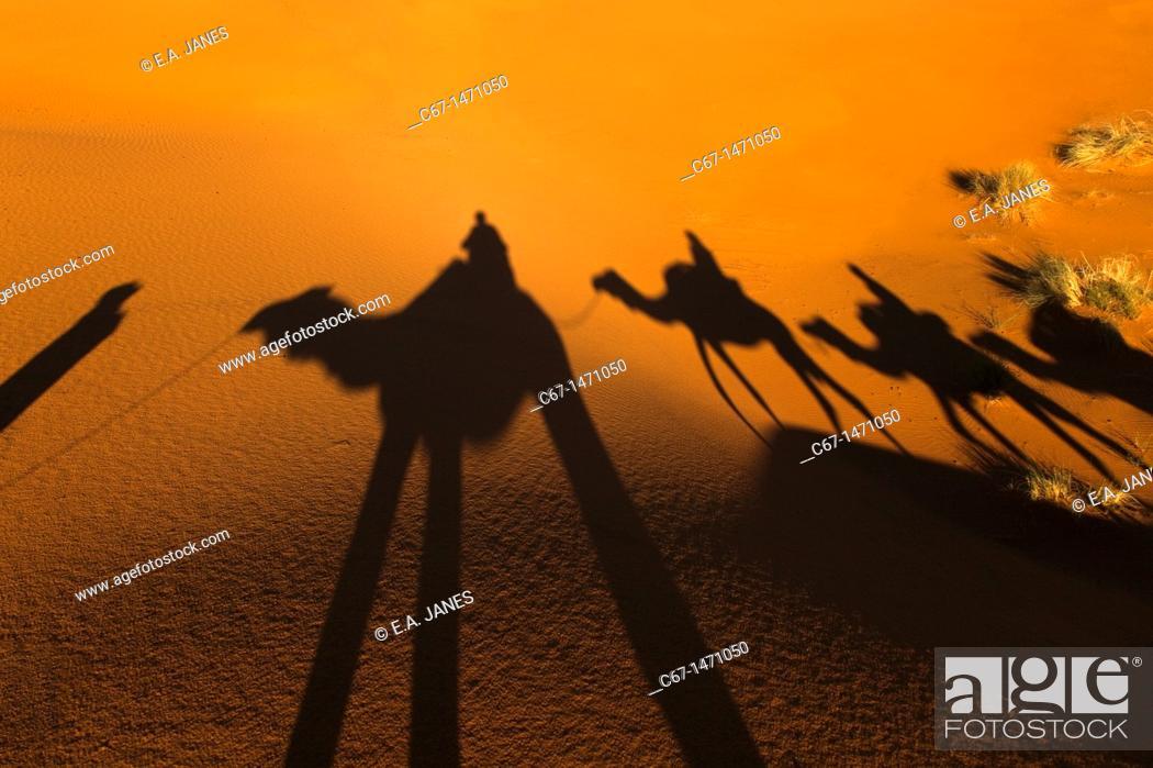 Stock Photo: Camal Shadow Erg Chebbi Dunes Sahara Desert Morocco North Africa March.