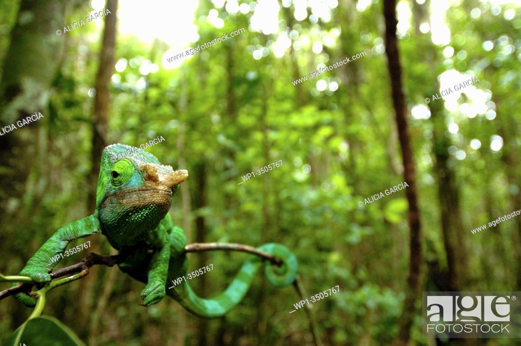 Stock Photo: general view of a forest with a chameleon perched on a tree branch in Madagascar.