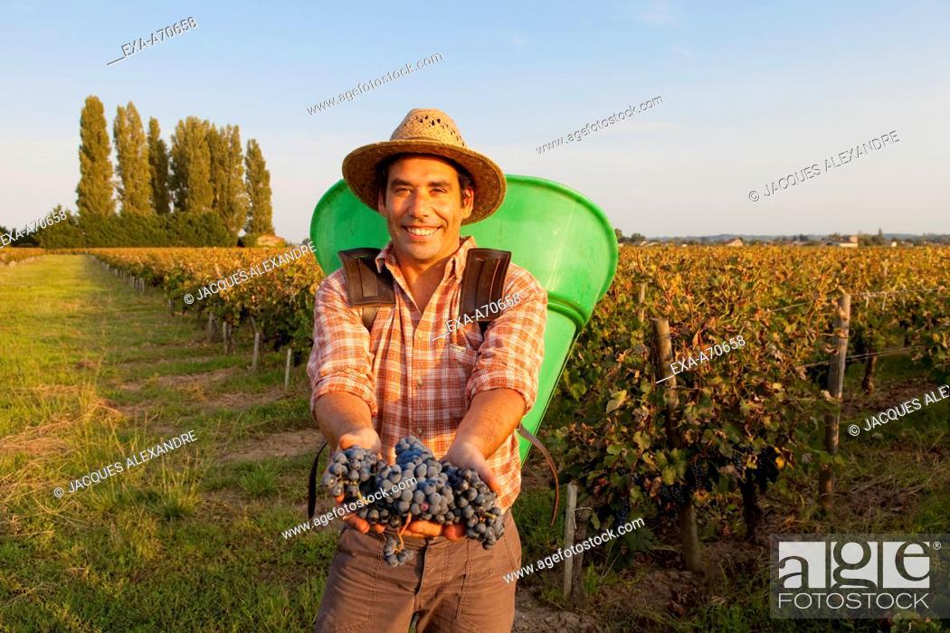 Imagen: Wine harvest in St. Emilion, Bordeaux, France.
