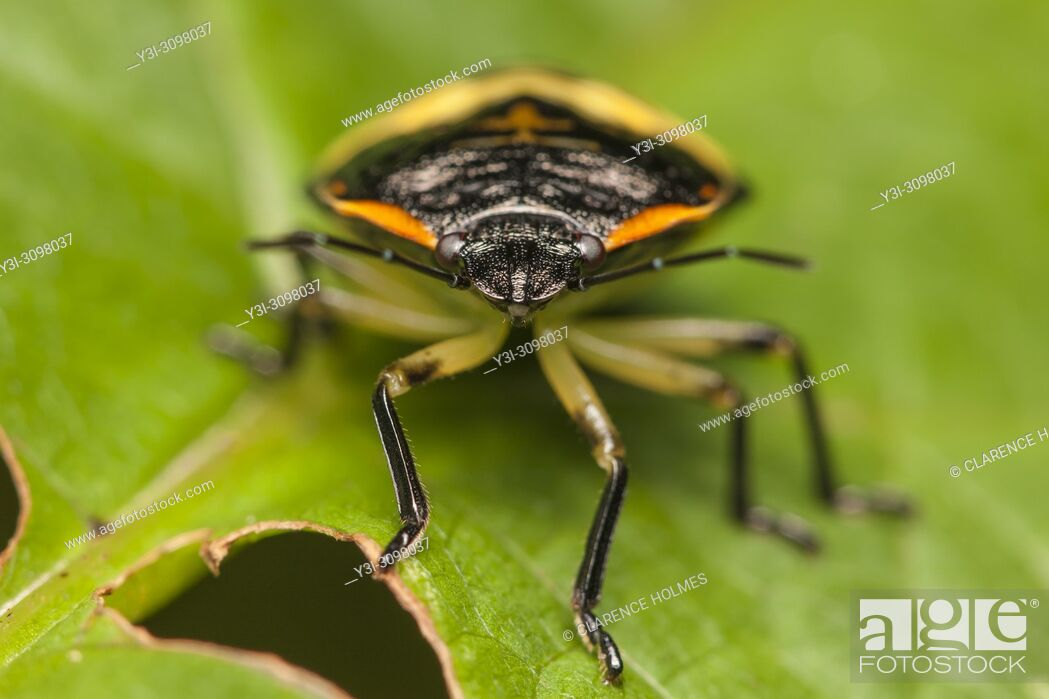 Imagen: A frontal view of a Green Stink Bug (Chinavia hilaris) nymph.