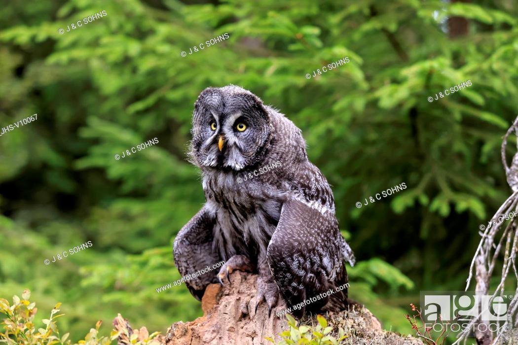 Stock Photo: Great Grey Owl, (Strix nebulosa), adult alert on branch, Pelm, Kasselburg, Eifel, Germany, Europe.