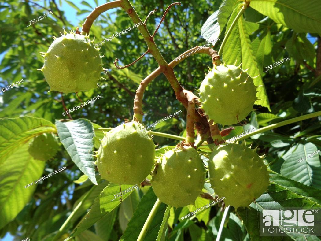 Stock Photo: Horse-chestnut (Aesculus hippocastanum). Catalonia, Spain.