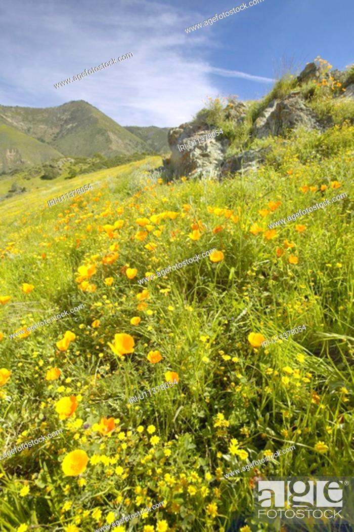 Stock Photo: Bright golden poppies and the green spring hills of Figueroa Mountain.