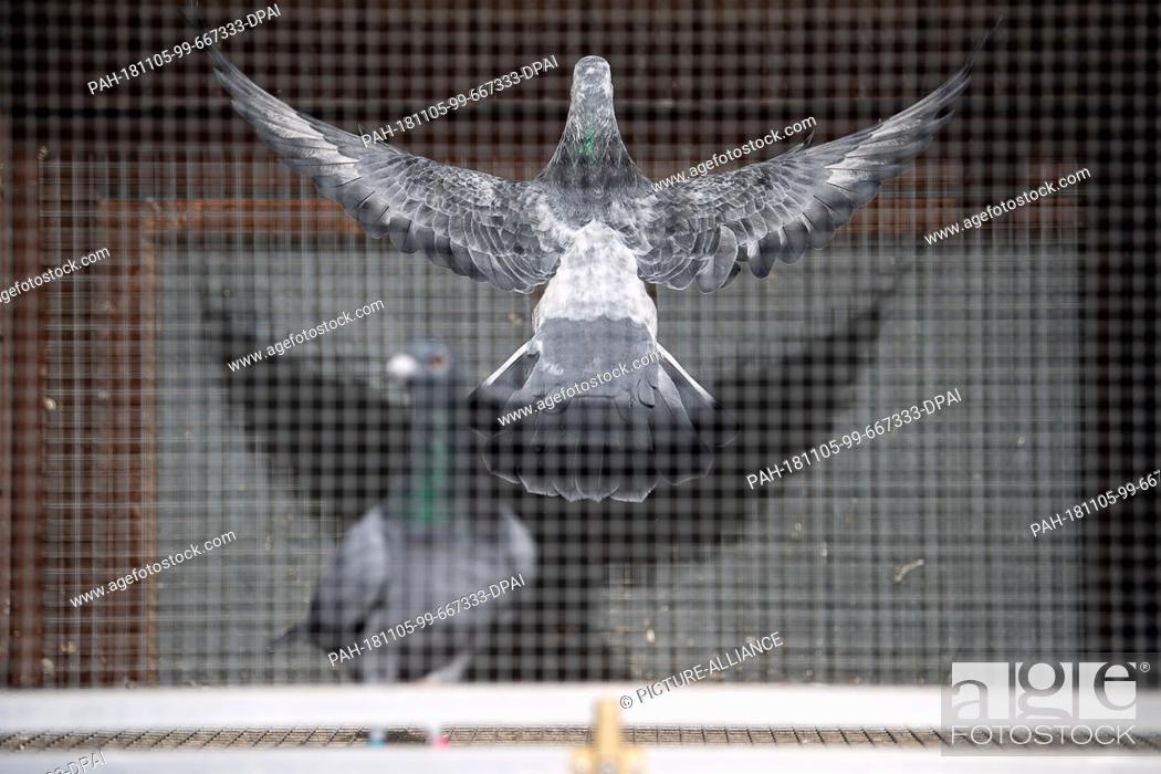 Stock Photo: 02 November 2018, Baden-Wuerttemberg, Stuttgart: A carrier pigeon flies in a carrier pigeon club in an aviary. At the beginning of December.