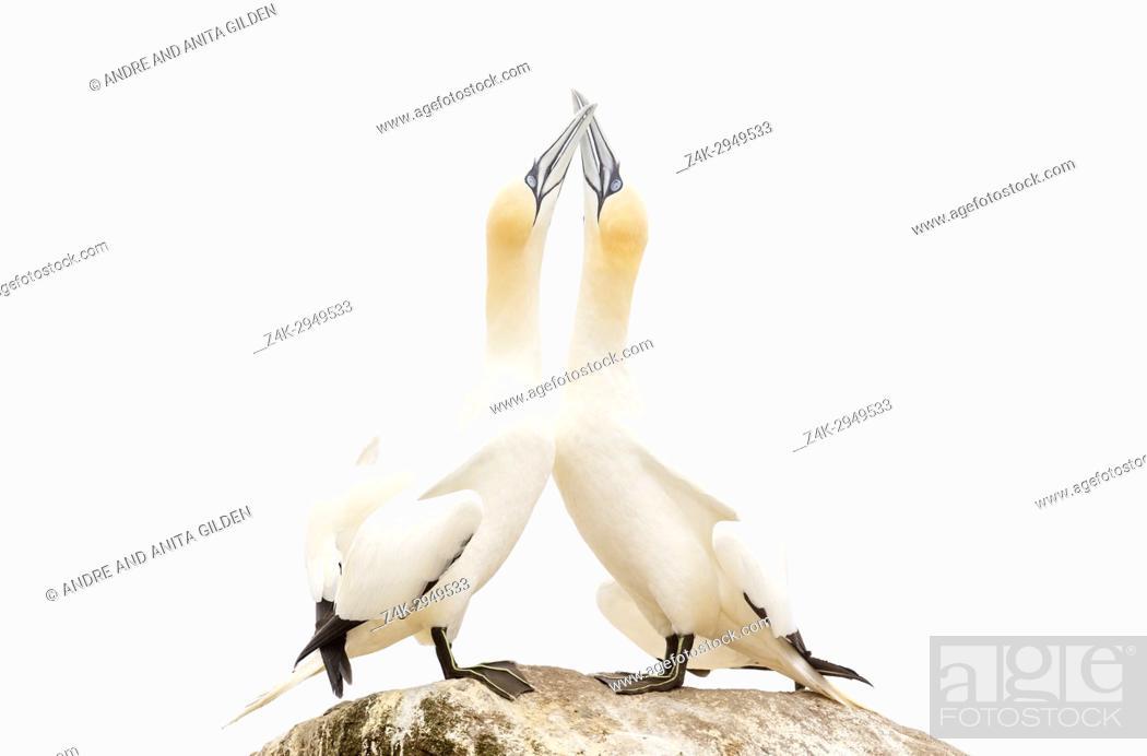 Imagen: Northern Gannet (Morus bassanus) adult pair, displaying, standing on rock, Great Saltee, Saltee Islands, Ireland.