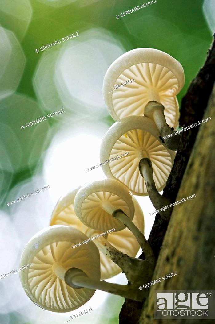 Stock Photo: Porcelain Mushroom (Oudemansiella mucida), Schleswig-Holstein, Germany.