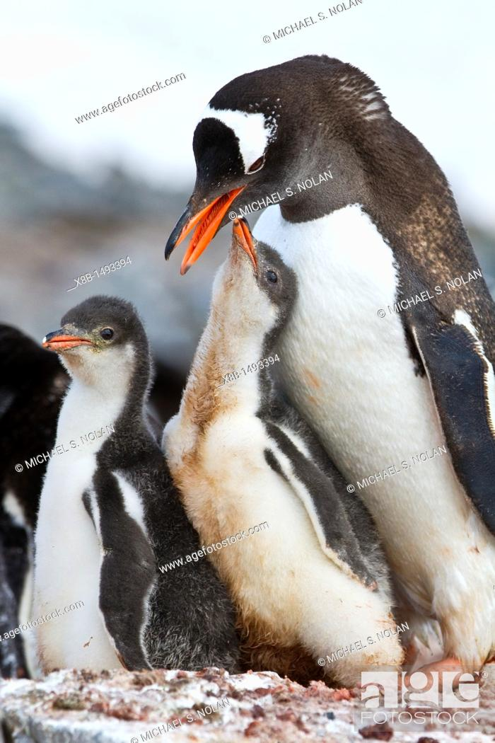 Stock Photo: Gentoo penguin Pygoscelis papua adult with chicks at breeding colony on Booth Island, Antarctica, Southern Ocean  MORE INFO The gentoo penguin is the third.