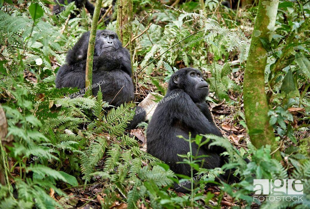 Imagen: UGANDA, BUHOMA, 17.02.2015, mountain gorilla - Buhoma, Uganda, 17/02/2015.