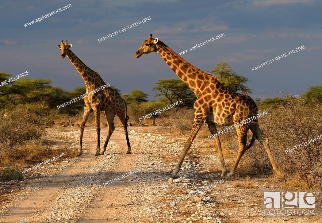 Stock Photo: 28 November 2019, Namibia, Etosha-Nationalpark: Giraffes cross a path in Etosha National Park. Photo: Oliver Berg/dpa. - Etosha-Nationalpark/Namibia.