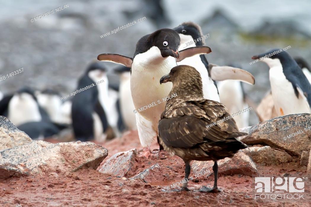 Imagen: Adélie penguin Pygoscelis adeliae adult defending chick against a skua on Torgersen Island, Antarctica  MORE INFO The Adélie penguin is one of the southernmost.