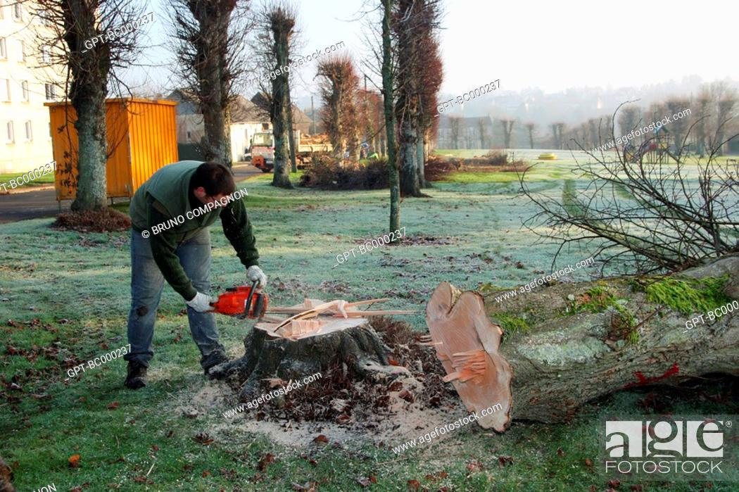 Imagen: FELLING OF TREES WITH A CHAINSAW BY A TOWN WORKER RUGLES, EURE 27, HAUTE-NORMANDIE, FRANCE.